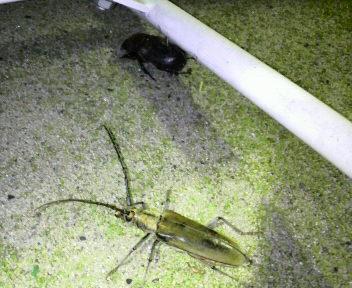カミキリ虫&カブトムシのコラボ